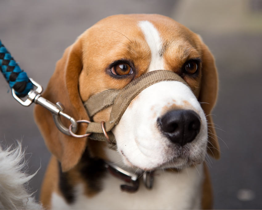 A Beagle on the lead using a harness for extra control