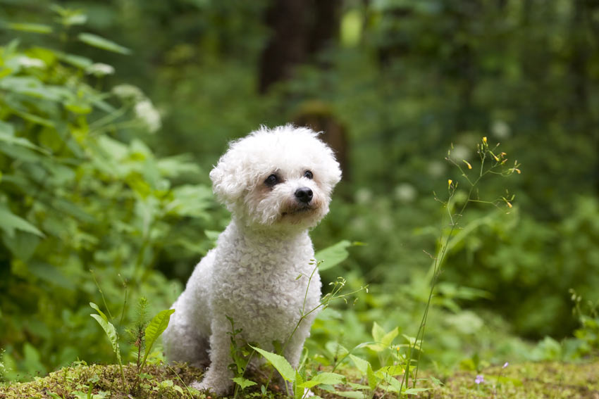 A Bichon Frise with a tightly curled hypoallergenic coat