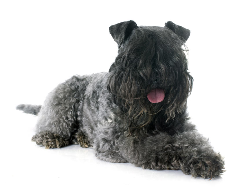 A Black Russian Terrier with a curly coat
