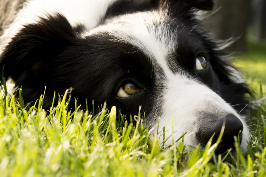 A Border Collie lying down outside on the grass