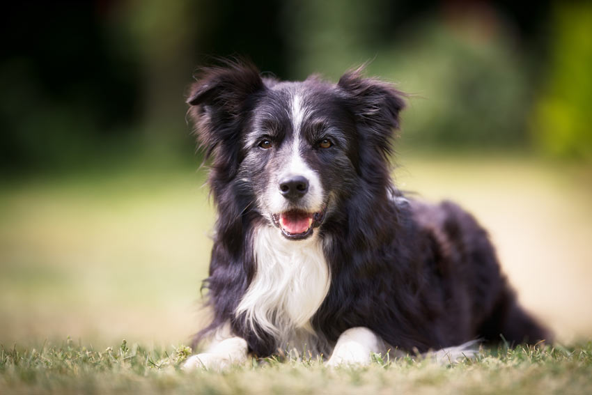 A Border Collie with a beautiful black and white medium length coat