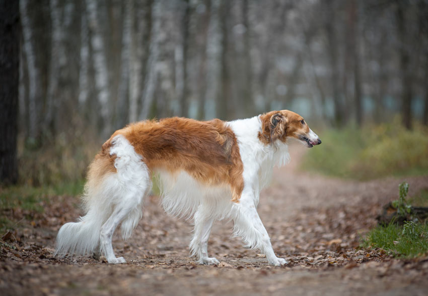 A Borzoi with a clean and well groomed long coat