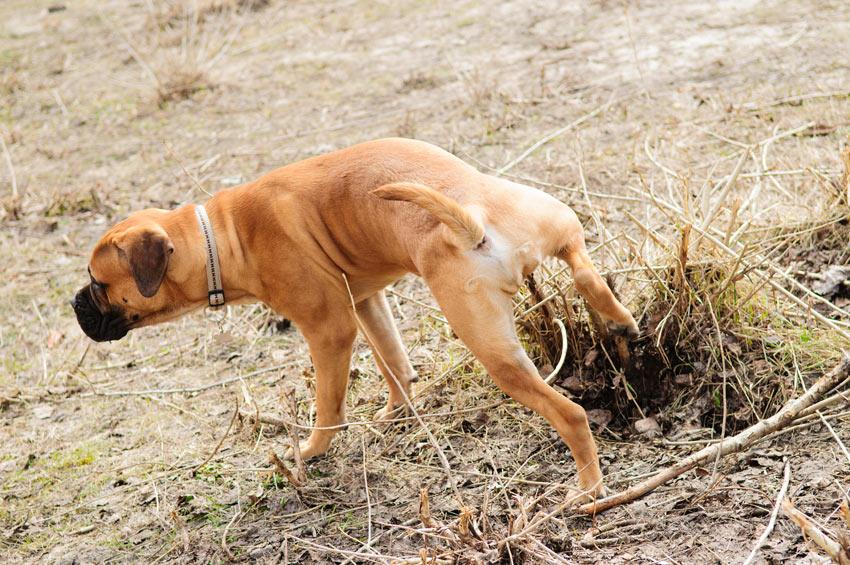 En bullmastiff går på toa utomhus
