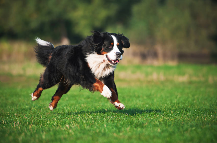 A Burnese Mountain Dog getting lots of exercise on an interesting walk
