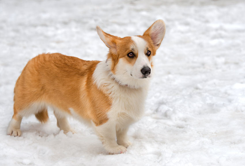 A Cardigan Welsh Corgi with a silky coat