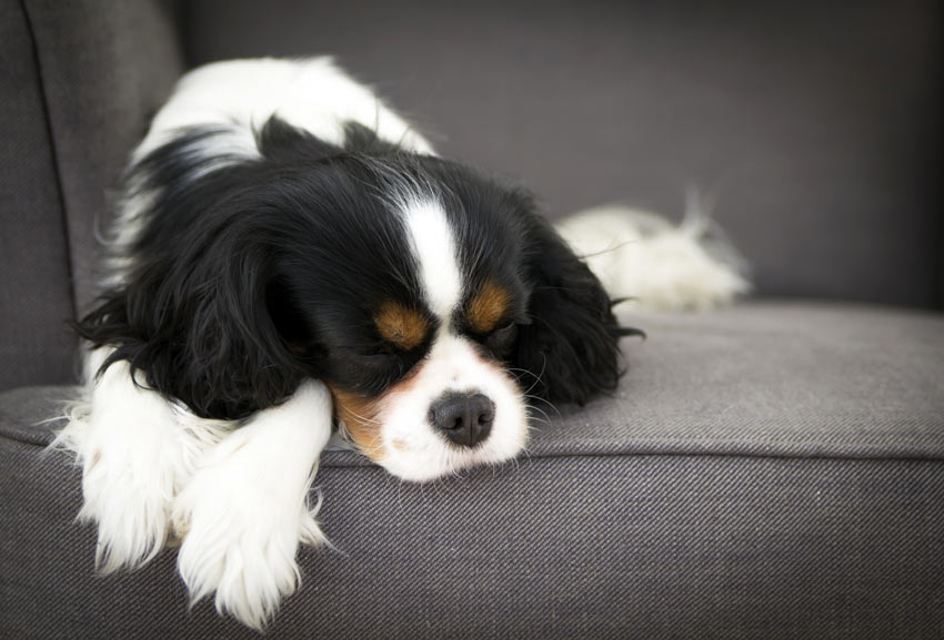 A Cavalier King Charles Spaniel having a rest on the sofa
