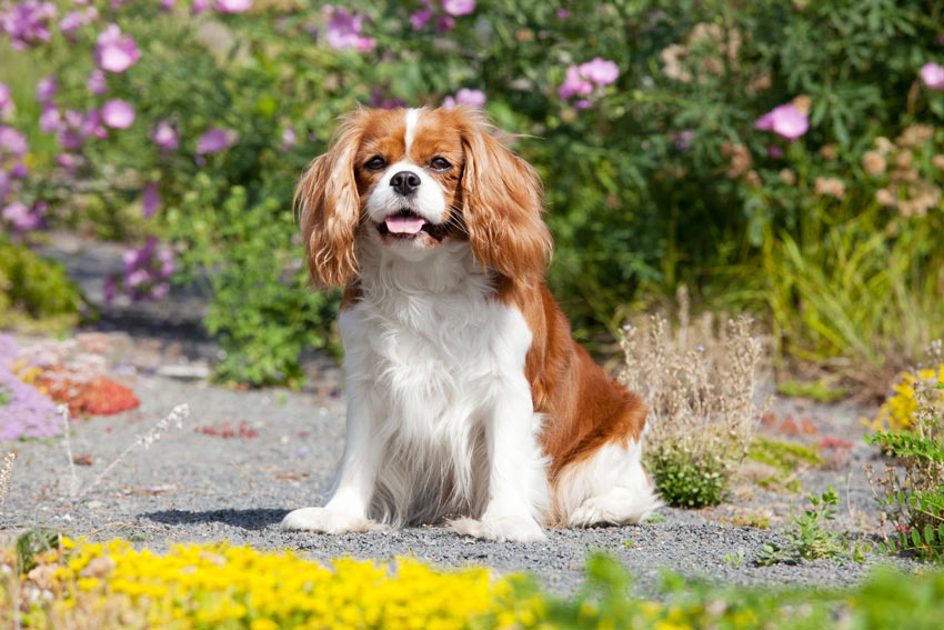 A Cavalier King Charles Spaniel with a medium length coat