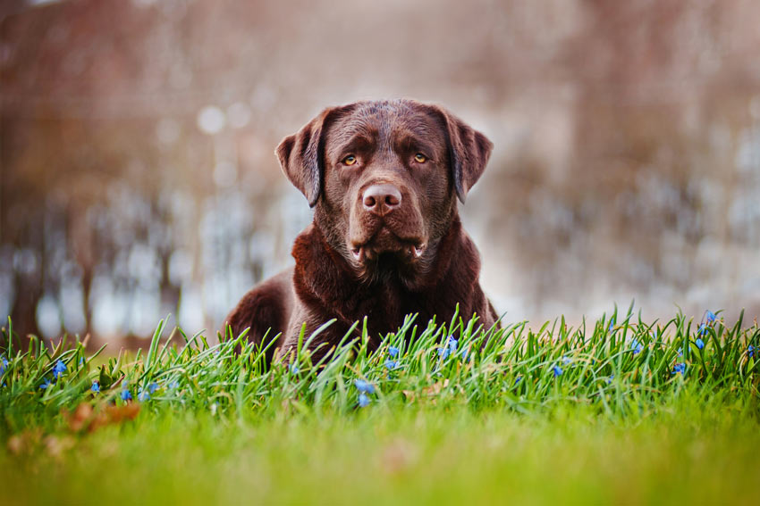 A Chocolate Labrador with a thick double coat