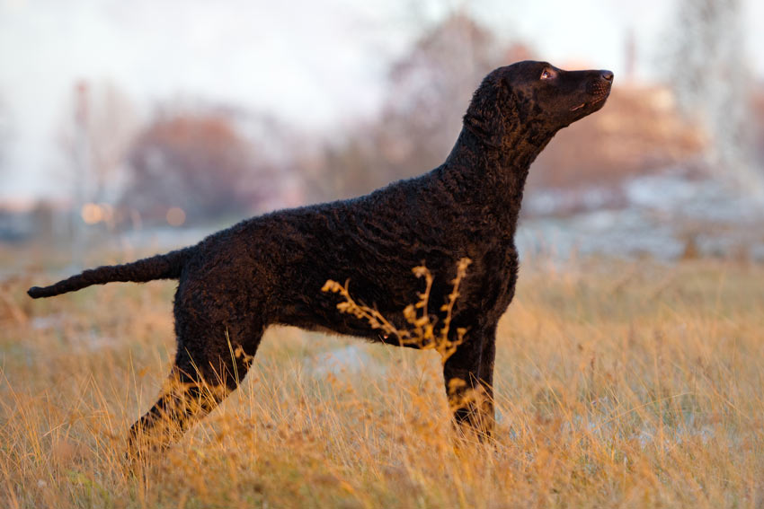 A Curly Coated Retriever with a black curly coat
