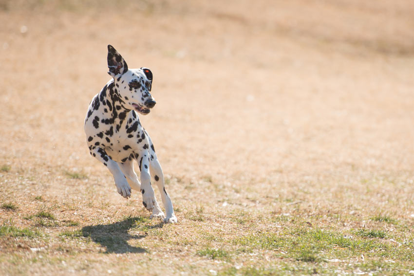 A Dalmatian running around getting some exercise