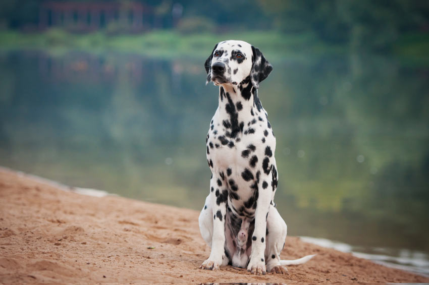 A Dalmatian that has been taught to sit on command