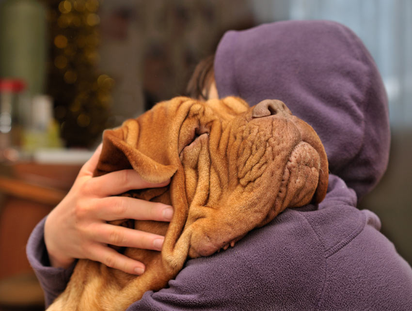 A Dogue De Bordeaux having a cuddle from its owner