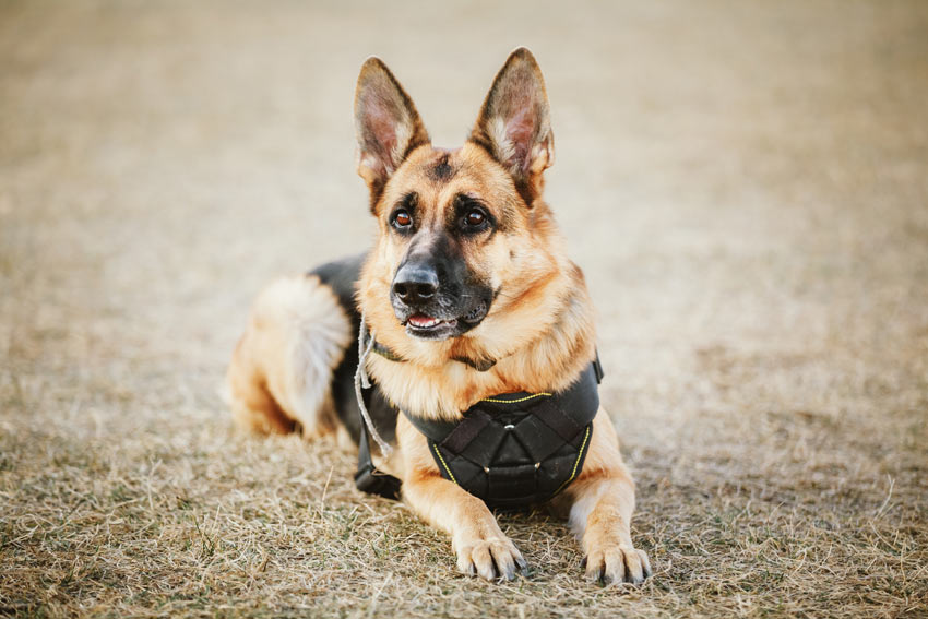 A German Shepherd Guard Dog given the commands to lay down and stay