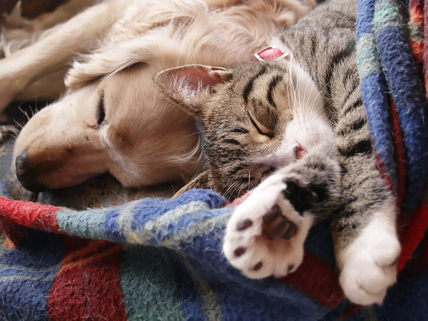 A Golden Retriever pup and a cat sleeping on the same blanket