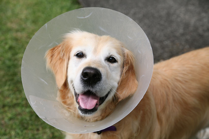 A Golden Retriever wearing an Elizabethan Collar