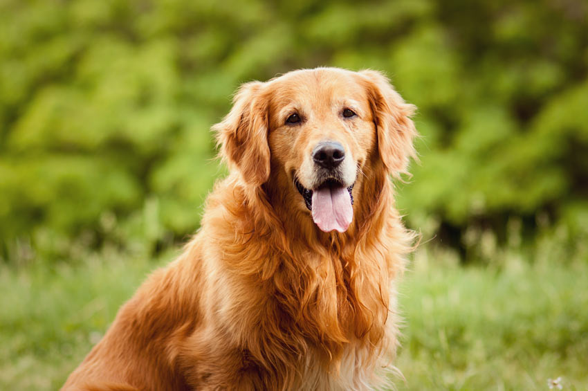 A Golden Retriever with a lovely thick coat