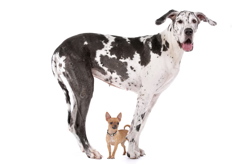 A Great Dane stood over a Chihuahua