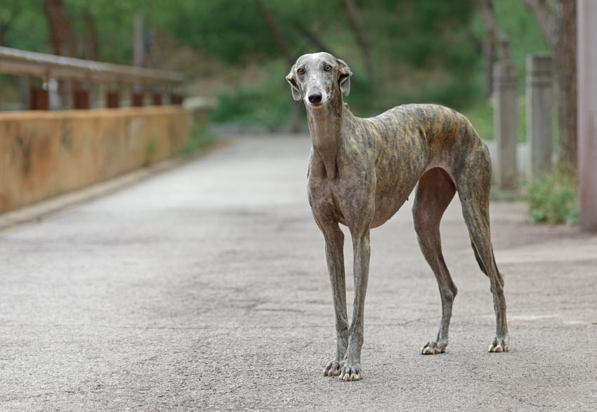 A Greyhound with a beautiful short smooth coat