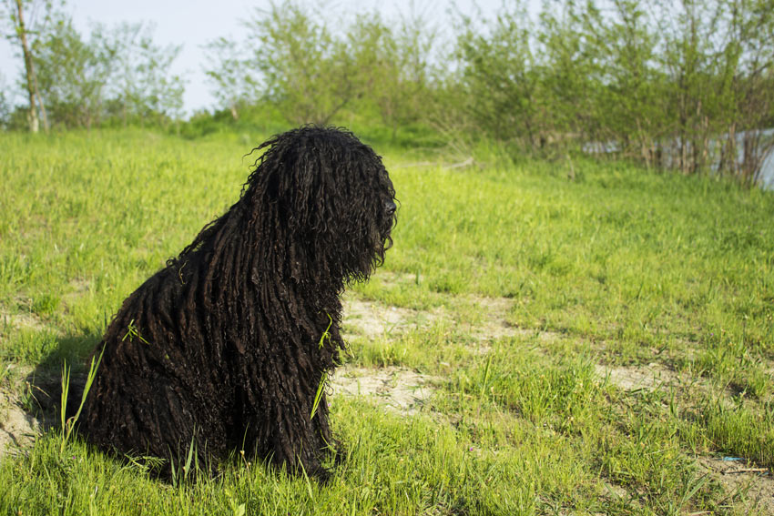 A Hungarian Puli with a long black corded coat