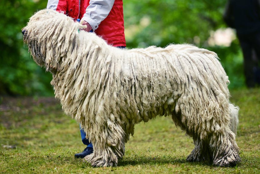 A Hungarian Puli with an amazing long corded coat