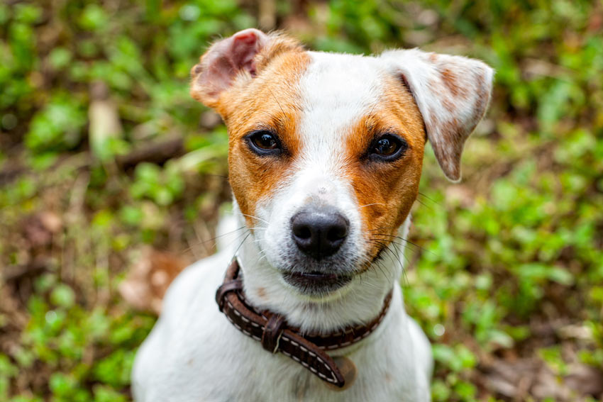 A Jack Russell Terrier with beautiful healthy eyes