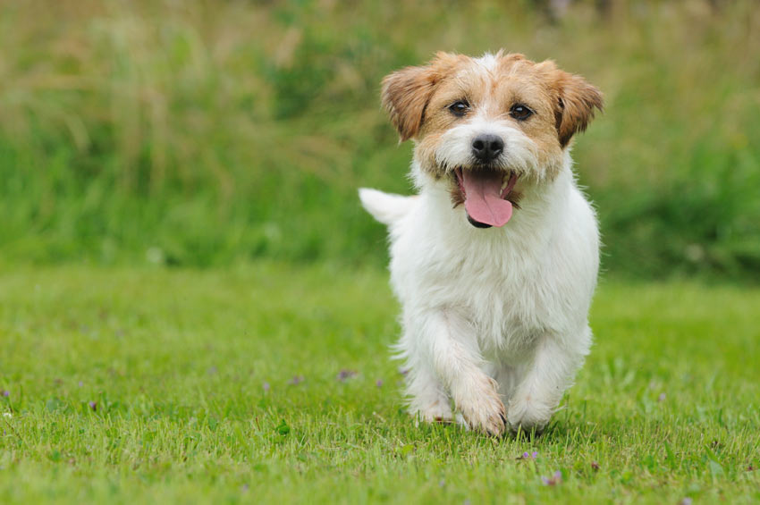 A Jack Russell puppy strollin accross the garden looking happy