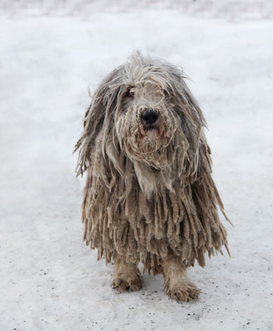 A Komondor with a dirty white corded coat