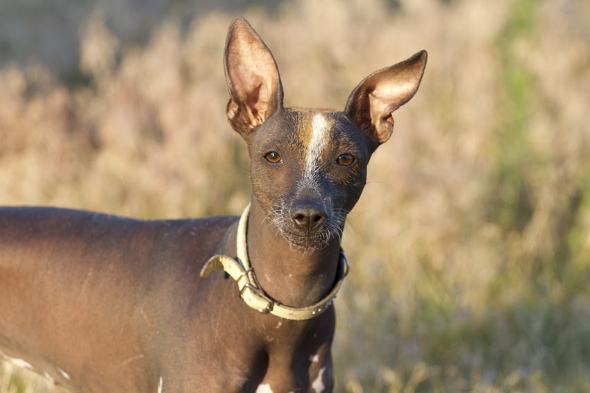 A Mexian hairless with beautiful big ears