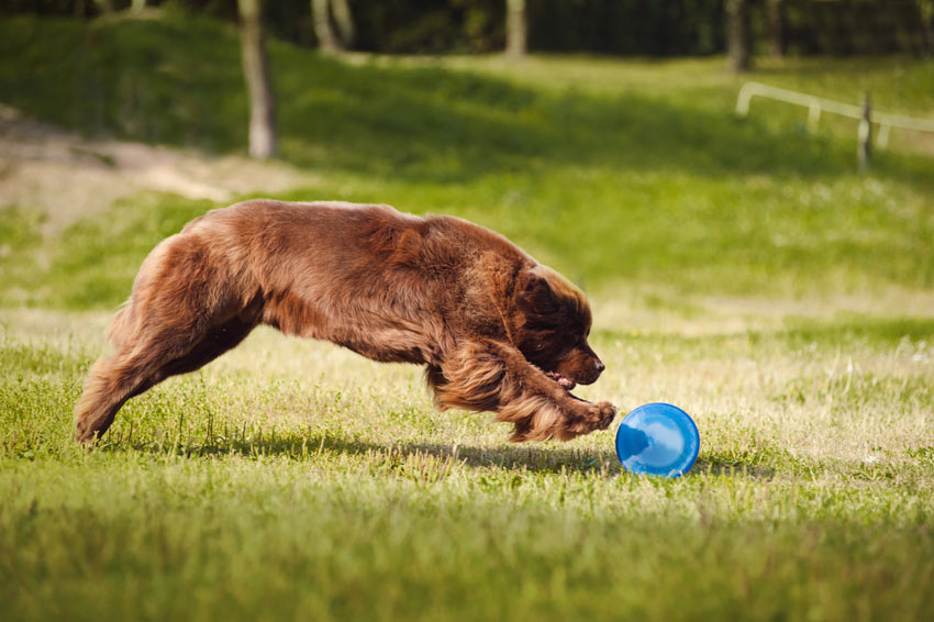 A Newfoundland chasing a frizbee