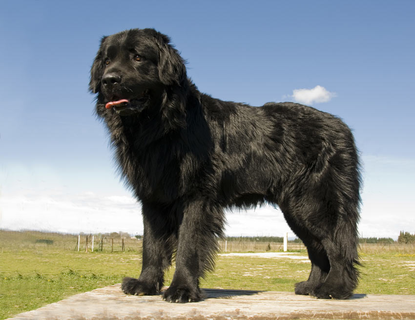 A Newfoundland with a black double coat
