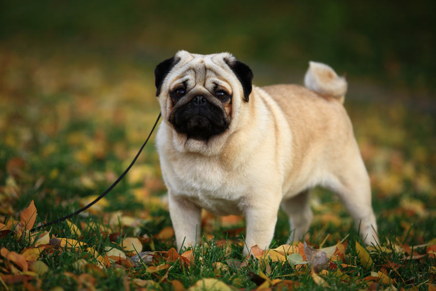 A Pug sitting very neatly ready for some exercise
