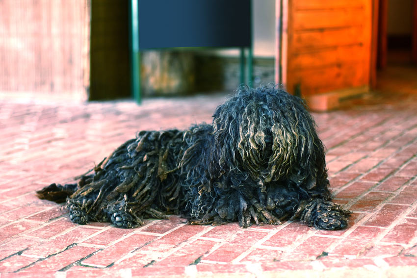 A Puli with a dreadlocked black corded coat