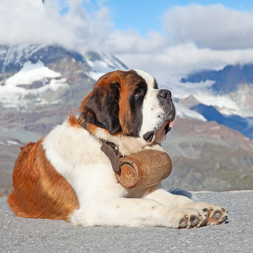A Saint Bernard with barrel of brandy around his neck