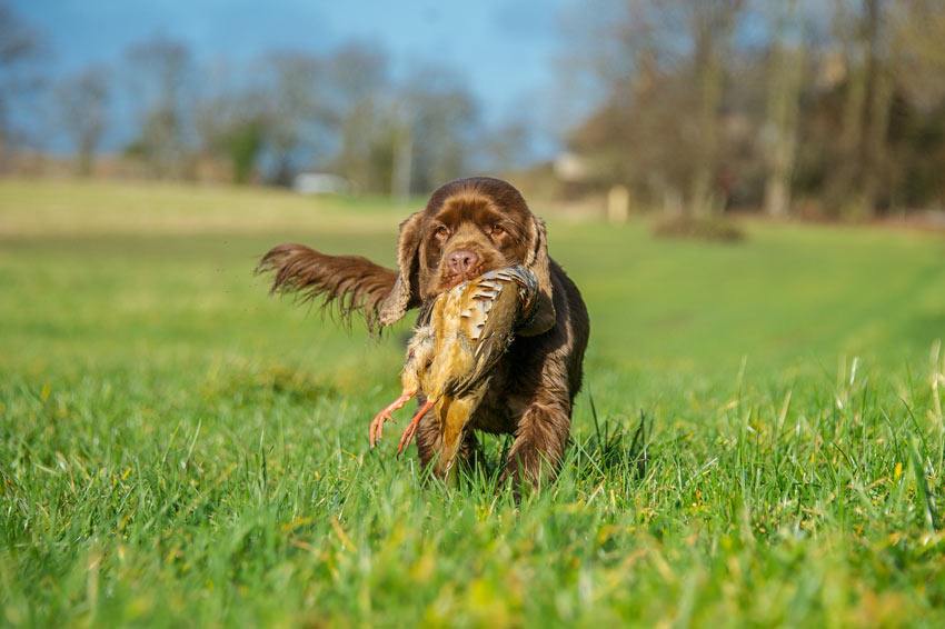 A Sussex Spaniel Gundog with a brid in its mouth