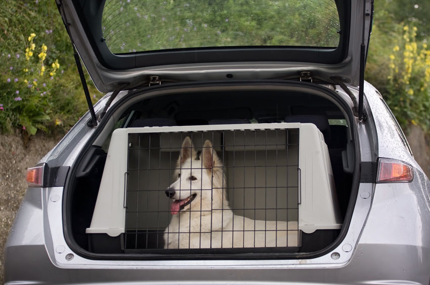 A Swiss White Shepherd Dog safely traveling in a dog crate