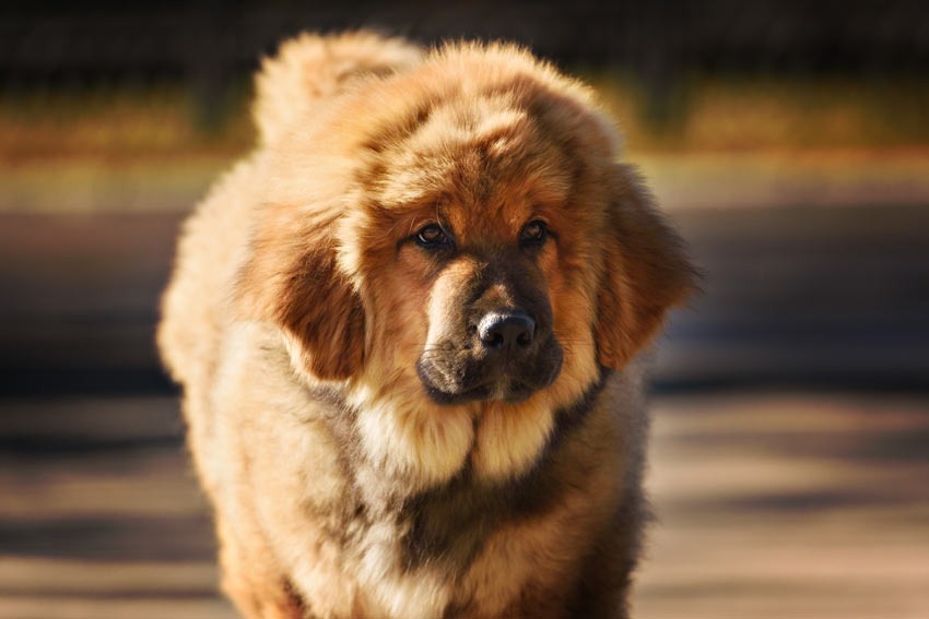 A Tibetan Mastiff, the most expensive dog every sold