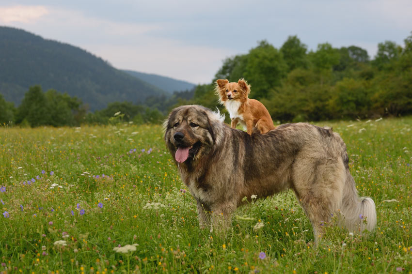 A Toy dog riding a Large dog