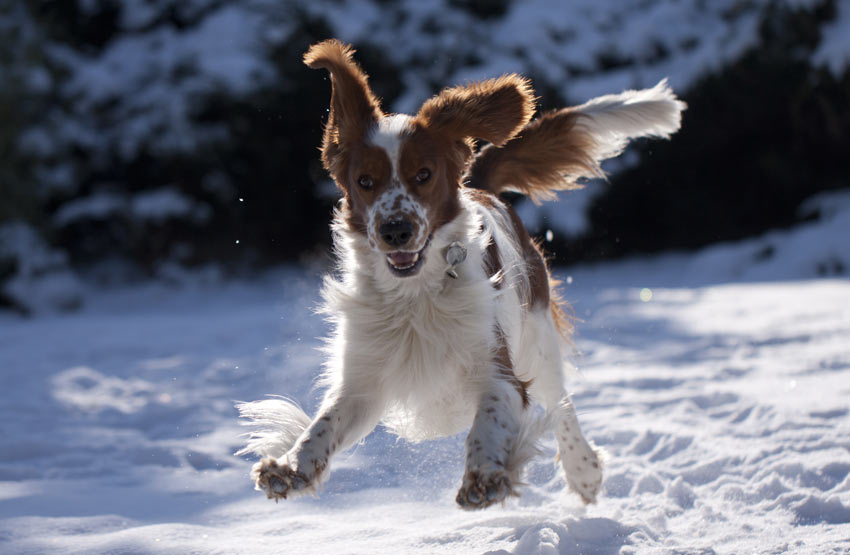 A Welsh springer Spaniel frolicking in the snow's tongue out