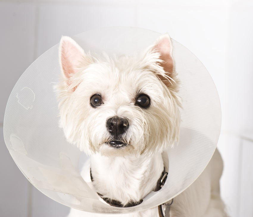 A West Highland Terrier wearing an Elizabethan Collar