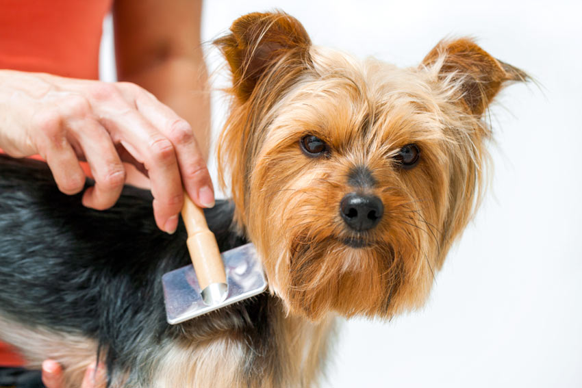 A Yorkshire Terrier puppy being groomed with a brush