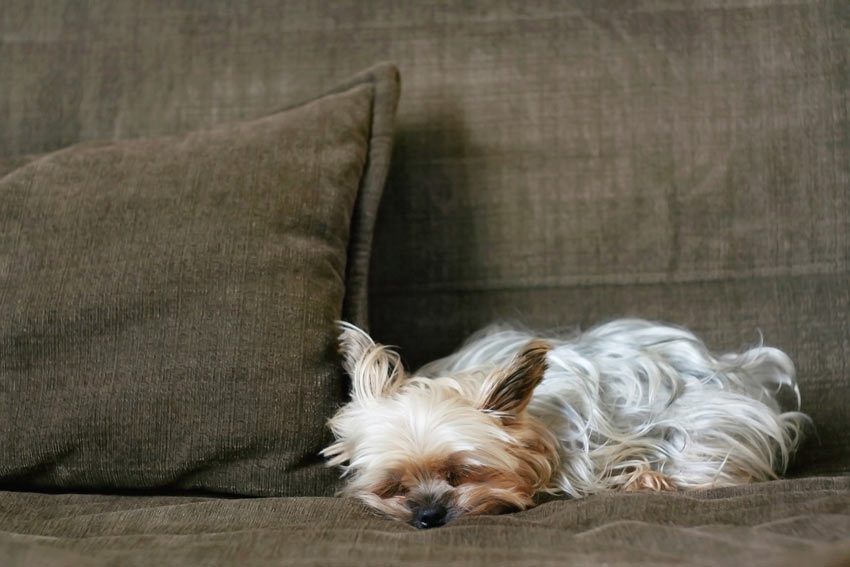 A Yorkshire Terrier relaxing on the sofa testing its owners authority