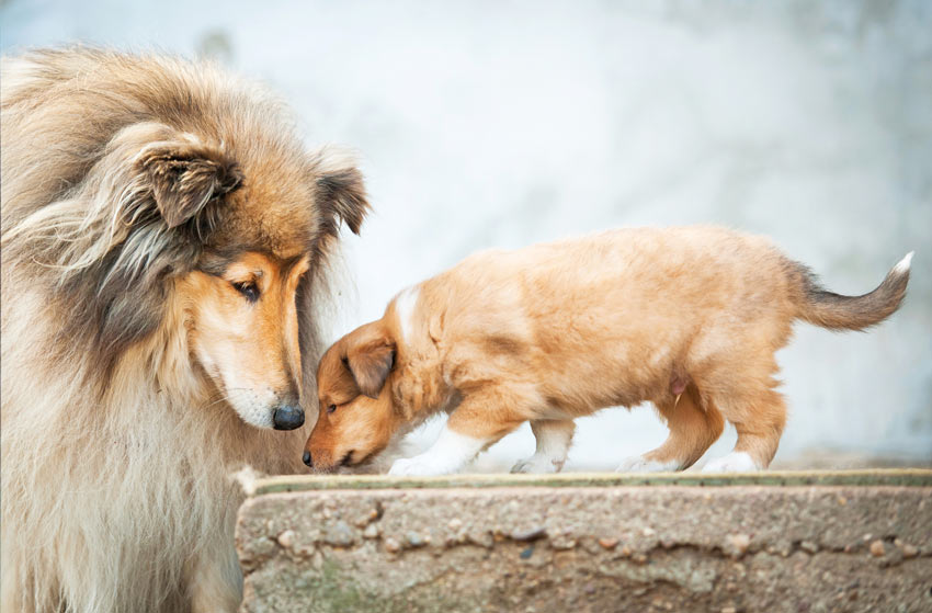 A adult female Collie looking after her young pup