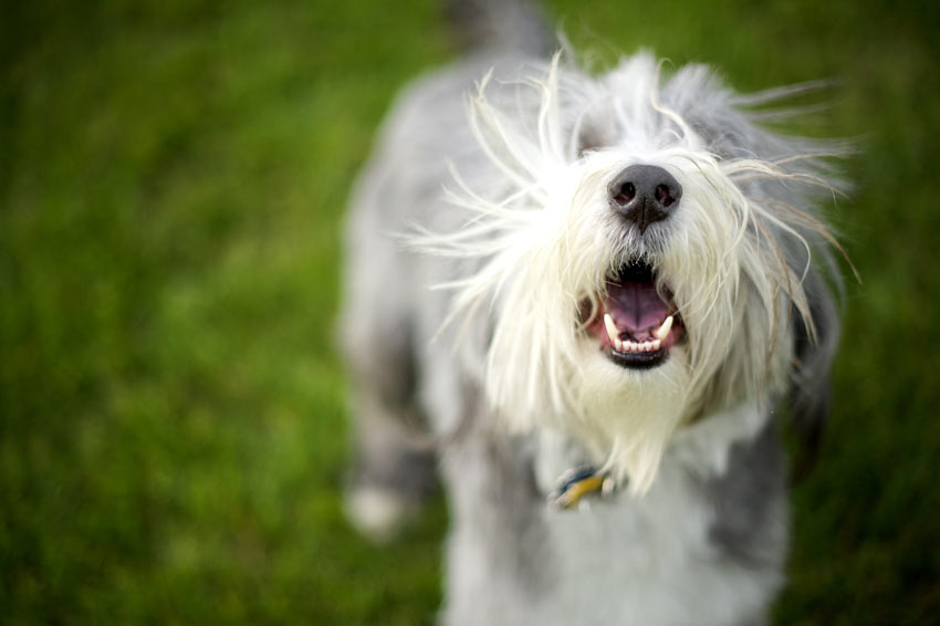 A bearded Collie barking at its owner wanting to jump up