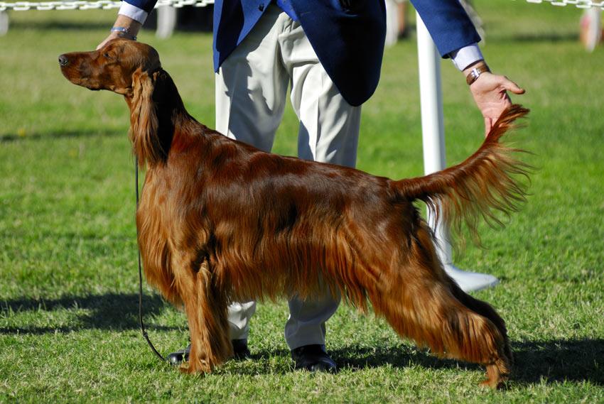 Een prachtige Ierse setter op een hondenshow