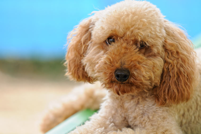 A beautiful Miniature Poodle with a hypoallergenic coat