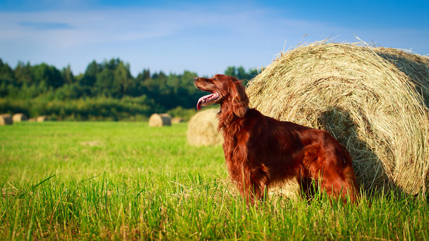 A beautiful Red Irish Setter with a long silky coat