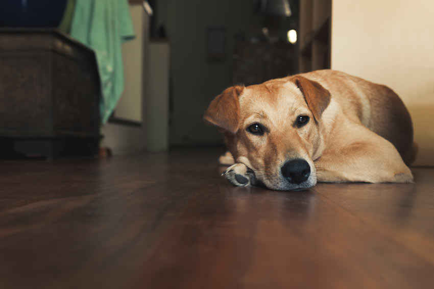 A beautiful adult Golden Labrador Retriever lying on the floor inside