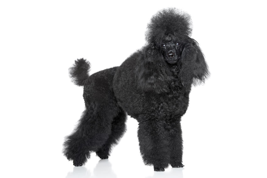 A beautiful black Poodle with curly hair