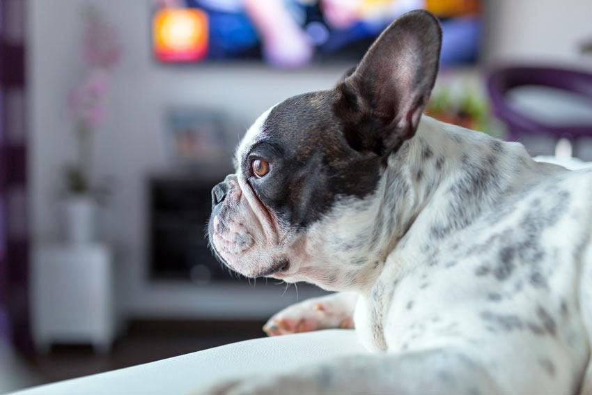 A beautiful black and white French Bulldog watching TV