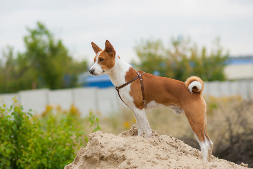A beautiful little Basenji with a hypoallergenic coat